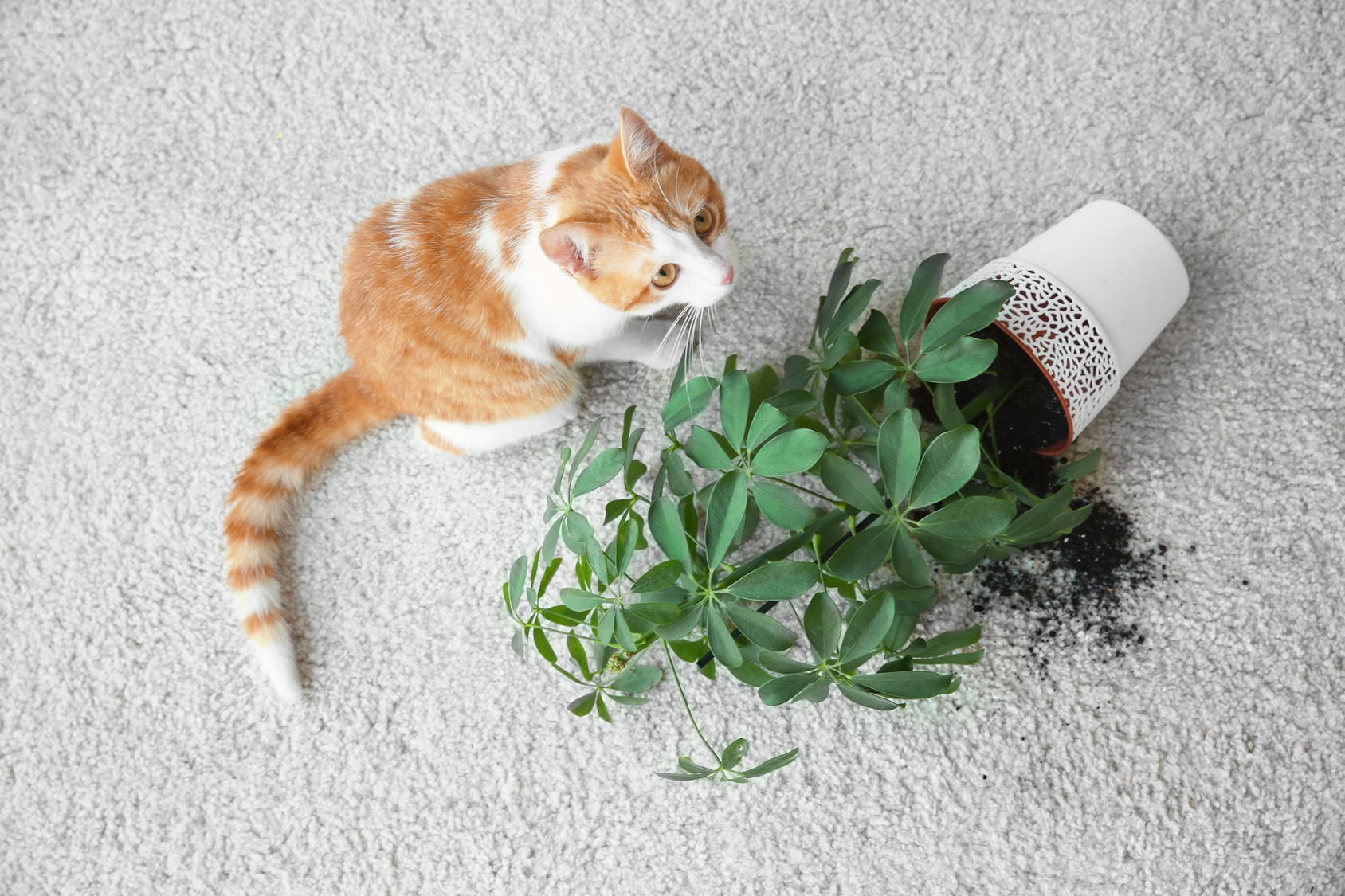 Pet Odor and Spot Removal St. Louis